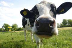 Großaufnahme vom Kopf einer Kuh, schaut frontal in Kamera