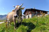 Kuh auf einer schweizer Alm