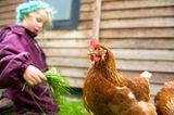Huhn, im Hintergrund ist ein Mädchen, hält dem Huhn Gras hin
