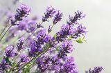 Duftet nicht nur toll, sondern wirkt auch herrlich beruhigend: Lavendeltee. Und keine Sorge, das Aroma in der Tasse erinnert nicht an Seife. Lavendeltee kann Dir helfen, wenn Du schlecht zur Ruhe kommst. Abends auf dem Sofa aus einer schönen Tasse getrunken - hilft zu gemütlicher Bettschwere.