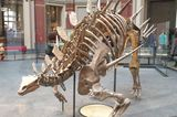 Stegosaurus im Naturkundemuseum Berlin