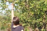 Frau pflückt einen Mini-Apfel vom Baum