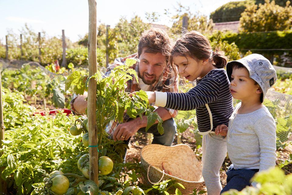 Vater pflanzt mit seinen Kindern einen Tomatenpflanze