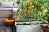 Tomaten auf dem Balkon